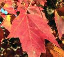 red-maple-leaf-in-autumn-608x544